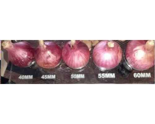 ​Red Onion